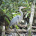 Perching Blue Heron by Marilee Noland