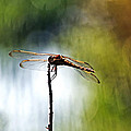 Perching Dragonfly by Theo OConnor