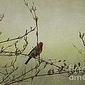 Perching Finch by Judy Wolinsky