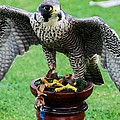 Peregrine Falcon # 1 by Marcus Dagan