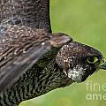 Peregrine Falcon 4 by Arterra Picture Library