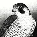 Peregrine Falcon by Ann Ranlett