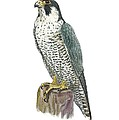 Peregrine Falcon, Artwork by Science Photo Library
