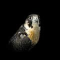 Peregrine Falcon by Bill Wakeley
