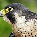 Peregrine Falcon by Cynthia Guinn