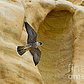 Peregrine Falcon Flying By Cliff by Anthony Mercieca