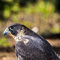 Peregrine Falcon by Jack R Perry