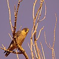 Peregrine Falcon by Jeff Swan