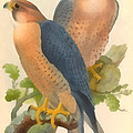 Peregrine Falcon by John Gould