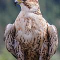 Peregrine Falcon by Marie  Cardona