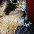 Peregrine Falcon by Pat Erickson