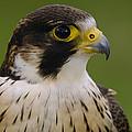 Peregrine Falcon Portrait Ecuador by Pete Oxford