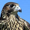 Peregrine Falcon by Christina Rollo