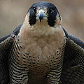 Peregrine Falcon by Richard Bryce and Family