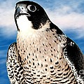 Peregrine Falcon by Rose Santuci-Sofranko