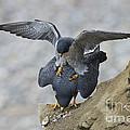 Peregrine Falcons Mating by Anthony Mercieca