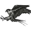 Peregrine Hawk Or Falcon Black And White With Pen And Ink Drawing by Mario Perez