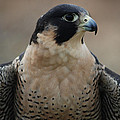 Peregrine Profile by Richard Bryce and Family