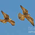Peregrine Siblings Chasing Each Other by Anthony Mercieca