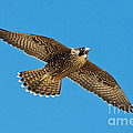 Peregrine Young Screaming For Food by Anthony Mercieca