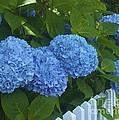 Perfect Blue Hydrangeas  by Amazing Jules