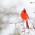 Perfect Cardinal by Cheryl Baxter