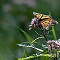 Perfect Monarch by Cheryl Baxter