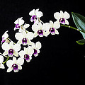Perfect Phalaenopsis Orchid Poster by Rich Franco