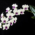 Perfect Phalaenopsis Orchid by Rich Franco