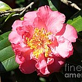 Perfect Pink Camellia by Carol Groenen