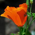 Perfect Poppy by Lynn Bauer