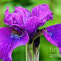 Perfect Purple Specimen by Susan Herber
