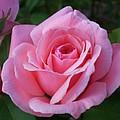 Perfect Rose by Florentina De Carvalho