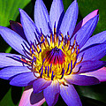 Perfect Water Lily by Lynn Bauer