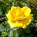 Perfect Yellow Rose by Cynthia Woods