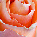 Perfection In A Peach Rose by Heidi Smith