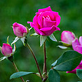 Perfectly Pink 2 by Steve Harrington