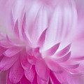 Perfectly Pink by David and Carol Kelly