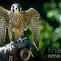 Perigrine Falcon by Gary Gingrich Galleries