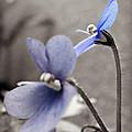 Periwinkle Petals by Brenda Conrad