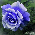 Periwinkle Rose by Barbara Griffin