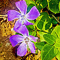 Periwinkles By West Point Inn On Mount Tamalpias-california  by Ruth Hager