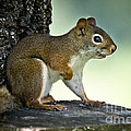 Perky Squirrel by Cheryl Baxter