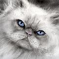 Persian Cat With Blue Eyes by Svetlana Novikova