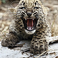 Persian Leopard Cub Snarling by San Diego Zoo