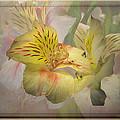 Peruvian Lily Framed by Susan McMenamin