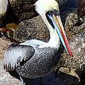 Peruvian Pelican by James Brunker