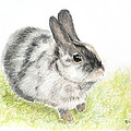 Pet Rabbit Gray Pastel by Kate Sumners