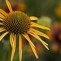 Petals Of Sunshine by Karen Forsyth