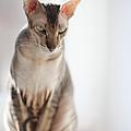 Peterbald Sphynx Cat by Konstantin Sutyagin